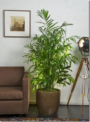 Bamboo_Palm_Houstoninteriorplants