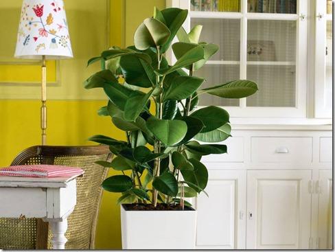 Ficus-Elastica