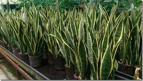 Snake_Plant_(Sansevieria_trifasciata_'Laurentii')_1