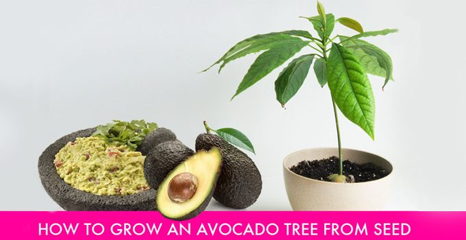 10 steps to grow your own avocado tree from seed it 39 s a for Grow your own avocado tree from seed