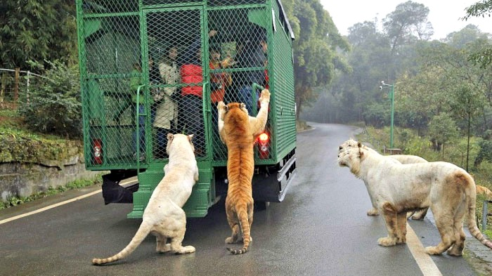 this is the most ferocious zoo in china animals roam